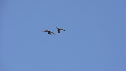 Pigeon pair in the blue sky