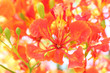 canvas print picture - Flame Tree Flower.