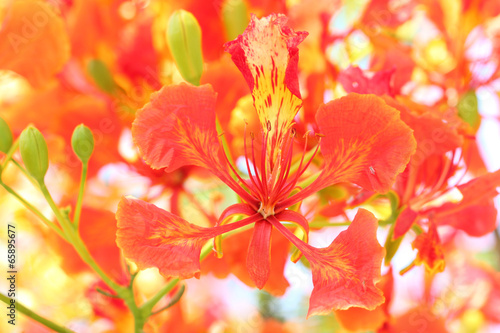 canvas print picture Flame Tree Flower.