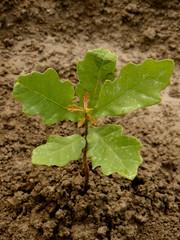 english oak tree sapling five-six weeks from germination