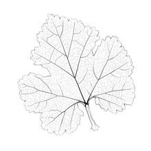 Pojedyncze grafiki monochromatyczny porzeczki liści.