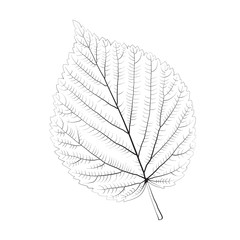 Isolated vector monochrome birch leaf.