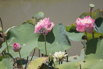 Pink lotus are blossoming.