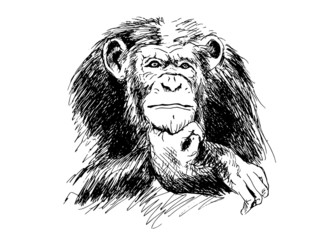 Hand drawing Chimpanzees. Vector illustration