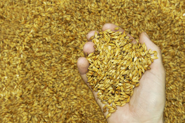 Malt seeds in hand