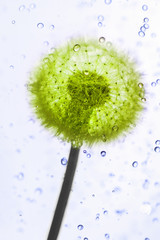 Droplets dandelion.