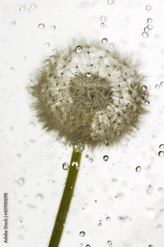 Droplets dandelion. - 65900698