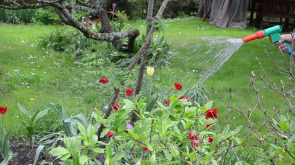 garden worker hand with hose pipe spray water on tulip flowers