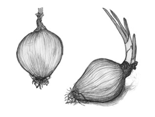 Hand drawn penciling of onion. Sketch of shallot bulb