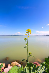 Blume am Balatonsee