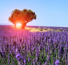 "Постер, картина, фотообои ""Lavender field. The plateau of Valensole in Provence"""