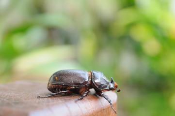 Single beetle hanging on wood, outdoor background.