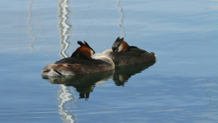 Great crested grebs (podiceps cristatus) courtship