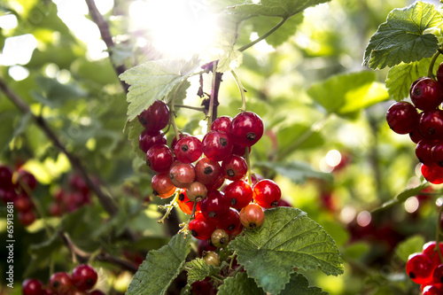 canvas print picture Stachelbeeren