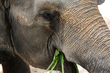 Close up elephant eating grasses.