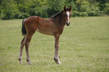 Pretty foal stands in a summer paddock.