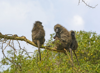 Baboon Family in a Tree