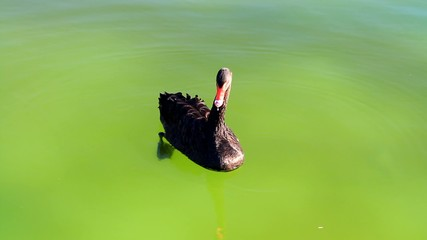 Swan eats small weed from the water