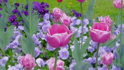 Purple tulips swaying in the wind.