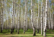 First greens in sunny birch forest