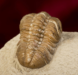 Oklahoma Trilobite 360 million years old.