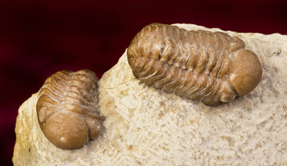 Oklahoma Trilobites 360 million years old.