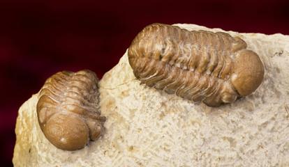 Oklahoma Trilobites 360 million years old.