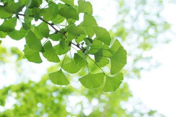 新緑のイチョウの葉