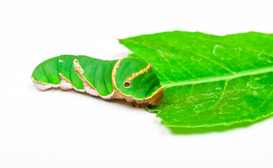 Green Caterpillar Eating Leaf