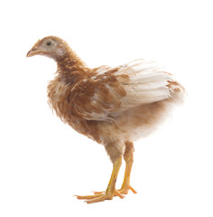 young chicken standing on white background use for livestock and