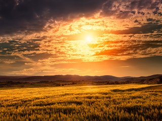 Field of barley at sunset