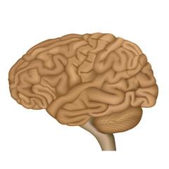 Menschliches Gehirn, Vector Illustration