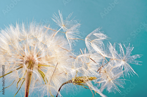 Fototapety, obrazy : Dandelion clock :)