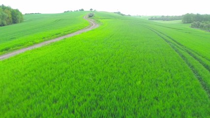 Field of green wheat
