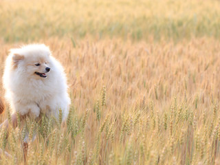 pomeranian puppy dog in rice field