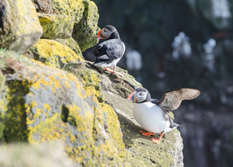 Puffins at Latrabjarg cliffs in Iceland