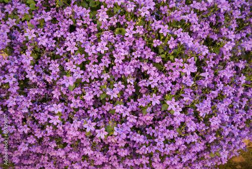 Bellflowers, Marimutra, Catalonia, Spain