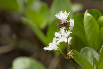 Blooming Bogbean, Menyanthes trifoliata