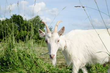 white goat in green meadow pasture