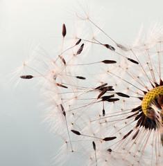 Dandelion clock :) © doris oberfrank-list