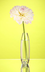 Beautiful white dahlia in glass vase