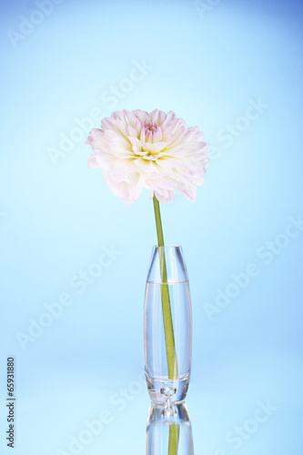 Beautiful white dahlia in glass vase on blue background