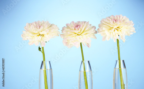 Beautiful white dahlias in glass vases