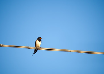 Swallow - European summer visitor bird - Hirundo rustica