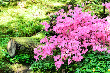 Stump and beautiful rhododendron pink flowers