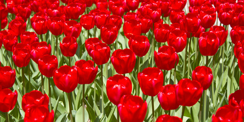 Red Tulip Flowers in the Spring outside in nature