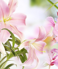 Light Pink Lily.