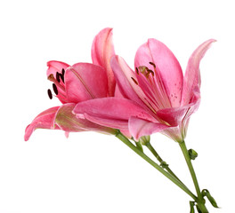 Beautiful pink lily flowers, isolated on white