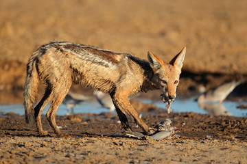 Black-backed Jackal eating dove, Kalahari desert
