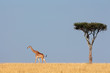 Masai giraffe and tree, Masai Mara